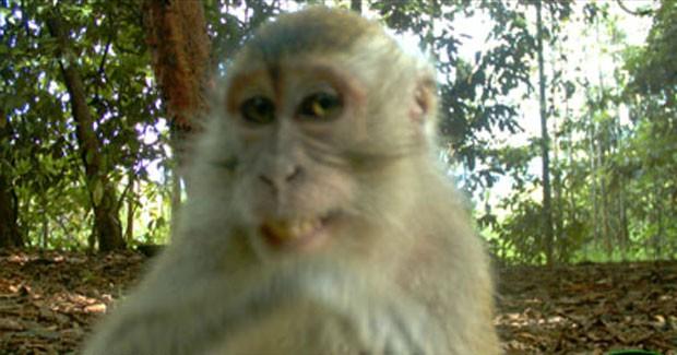 Macaco sorridente foi flagrado por câmeras em floresta na Malásia. (Foto: Divulgação/Universidade de Cardiff)