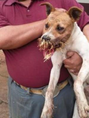 Cão ferido com espinhos (Foto: Divulgação/Decom)