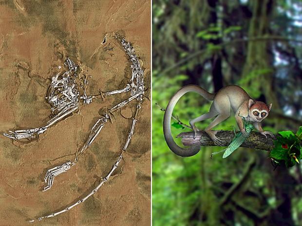 Reconstrução tridimensional do fóssil; ao lado, reconstrução artística de como o animal seria (Foto: Paul Tafforeau (ESRF) e Xijun Ni/Nature)