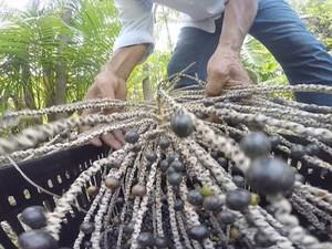 Colheita de açaí é realizada no início do ano em Palmas (Foto: Reprodução/TV Anhanguera)