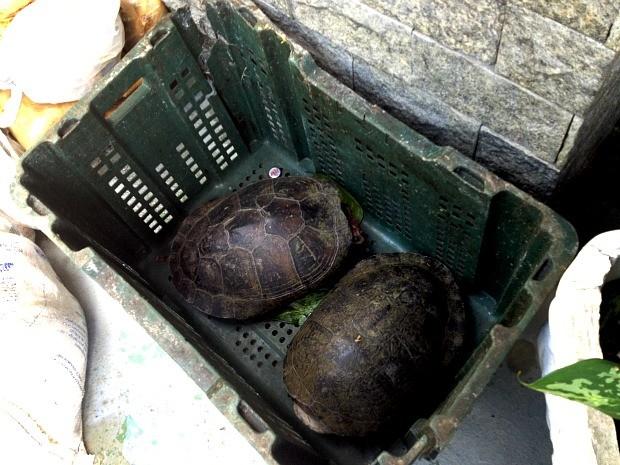 Dois quelônios vivos também foram recolhidos (Foto: Ana Graziela Maia/Rádio Amazonas FM/Reprodução)