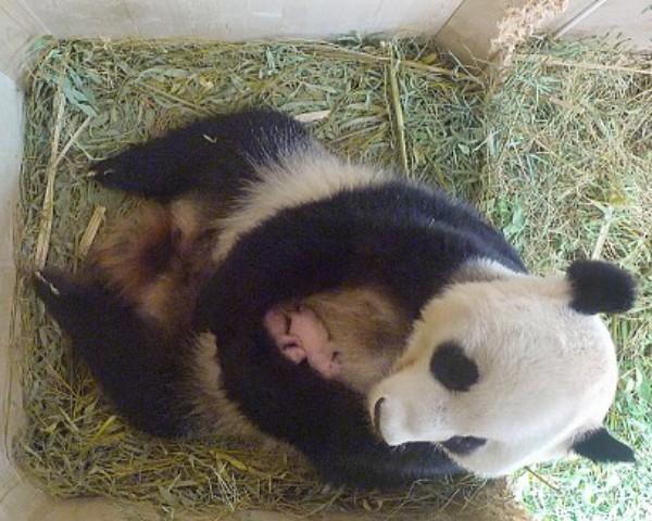 Panda gigante que deu à luz gêmeos na Áustria (Foto: Schoenbrunn Zoo)