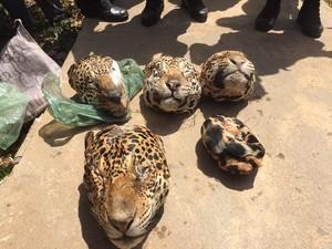 cabeças de cinco onças pintadas e uma onça Suçuarana, além de armas e munição. (Foto: Ascom/PC)
