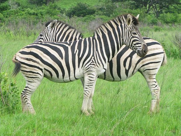 Zebra (Foto: Dennis Barbosa/G1)