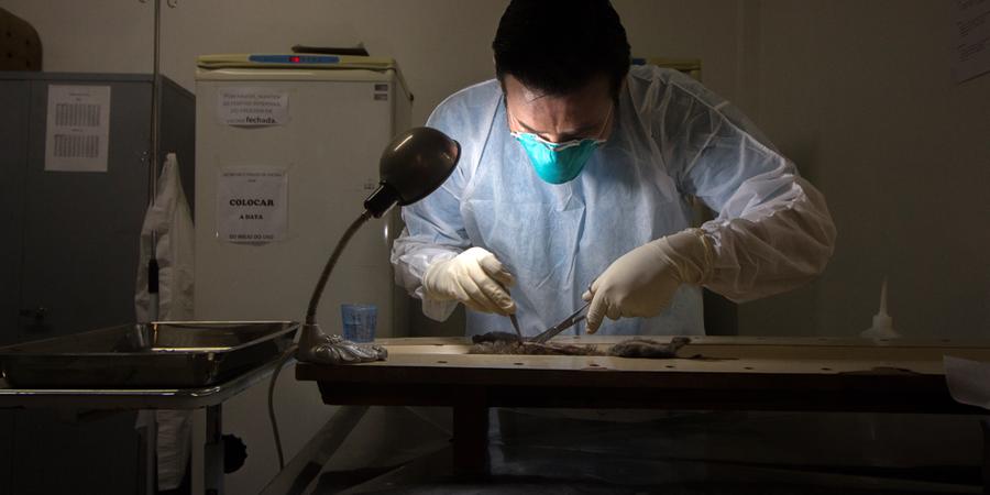 Veterinário realiza autopsia em macaco encontrado morto em  Jundiaí (Foto:  Rogério Cassimiro/ÉPOCA)