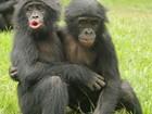 Macacos criados pelas mães têm mais habilidades sociais que órfãos