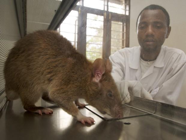 Rato cheira amostra de catarro humano para detectar tuberculose em laboratório da organização Apopo (Foto: Eric Nathan/Apopo/Divulgação)