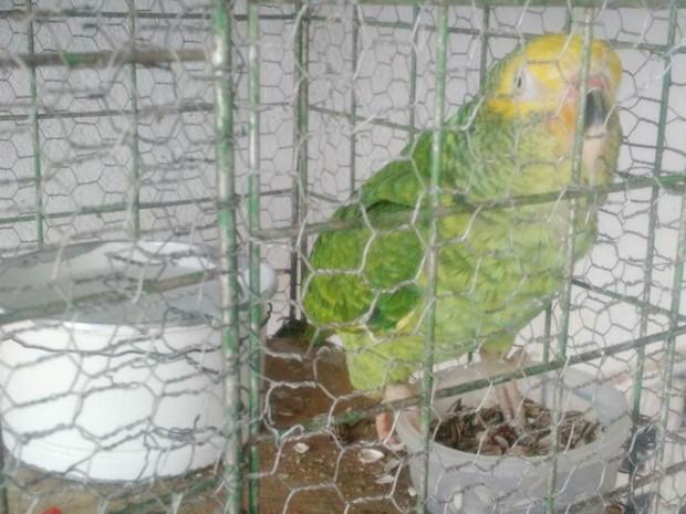 Papagaio foi apreendido pelos militares em Uberlândia (Foto: Polícia Militar de Meio Ambiente/Divulgação)