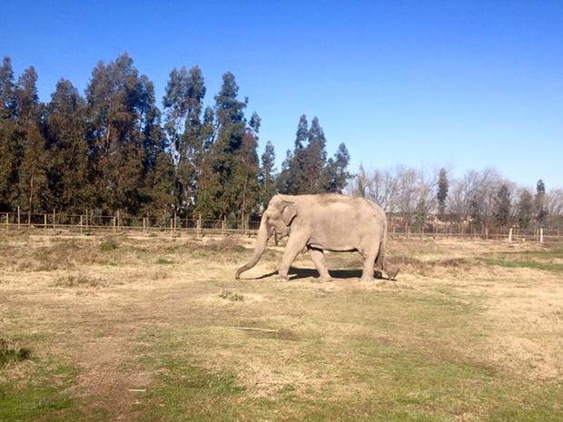 Atualmente, Ramba mora em um zoológico em uma província chilena (Foto: Global Sanctuary for Elephants/Divulgação)