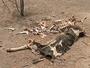Seca faz pecuarista vender vacas para alimentar gado no Agreste de PE