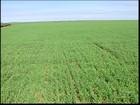 Agricultores do Triângulo Mineiro apostam na cultura do trigo