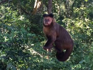 Macacos são os principais hospedeiros do vírus da febre amarela  (Foto: Graciela Andrade/TV TEM)