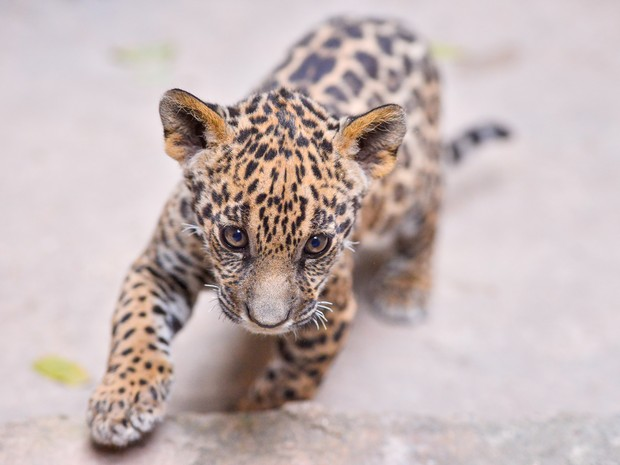 Filhote de onça, chamado Dingo, deve ser transferido para instituto em Goiás. (Foto: Lucas Ninno/GCOM)