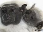 'Primata mais raro da Amazônia' nasce em parque ambiental britânico