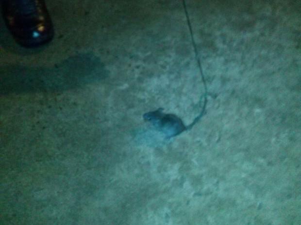 Rato foi encontrado em presídio do Tocantins durante vistoria (Foto: Divulgação)
