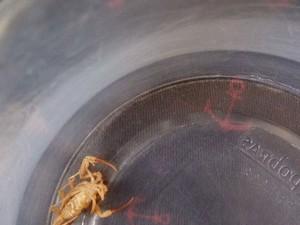 Animal peçonhento foi recolhido e levo em hospital de MS (Foto: Landerson Ricardo / Arquivo Pessoal)