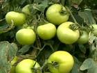 Tempo frio favorece a cultura do tomate em Guiricema, MG