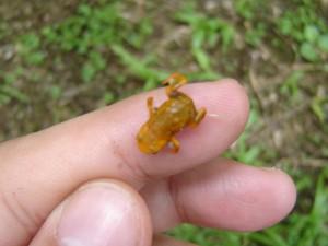 Sapo minúsculo mede 1,5 centrímetros (Foto: Unesp/Divulgação)