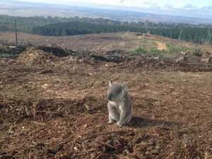 """Imagem de 9 de abril mostra exemplar de coala """"desolado"""" em uma área que abrigava uma floresta de pinheiros, que foi destruída (Foto: Reprodução/Facebook/Wirex)"""