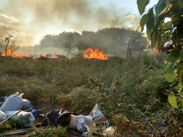 Pés de maconha são encinerados em Operação Ribeirinha em Belém do São Francisco (Foto: Divulgação / Polícia Militar de Belém do São Francisco)