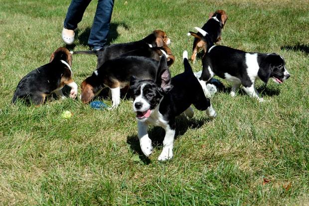 Seis, dos sete cães de proveta, já foram adotados (Foto: Michael Carroll/Cornell University College of Veterinary Medicine via AP)