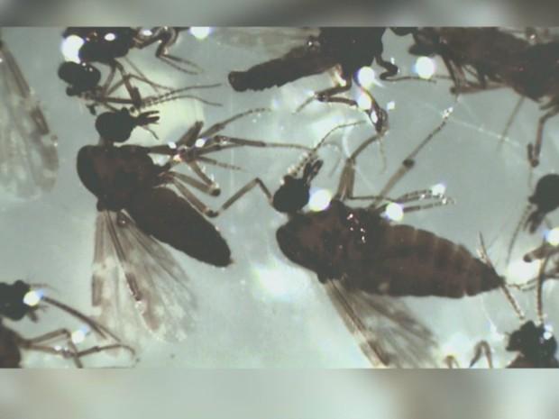 Inseto pode transmitir febre de Oropuche que têm sintomas parecidos com o da Dengue, segundo Fiocruz (Foto: Friocruz/Divulgação)