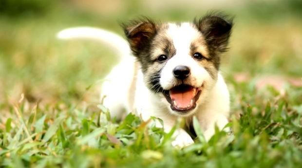 Cachorro, pets (Foto: Thinkstock)