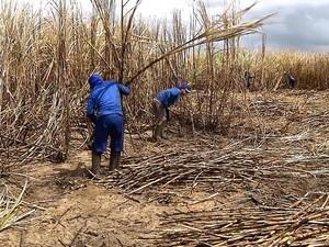 Maior parte das contratações foi para o cargo de cortador de cana (Foto: Reprodução/TV Cabo Branco)