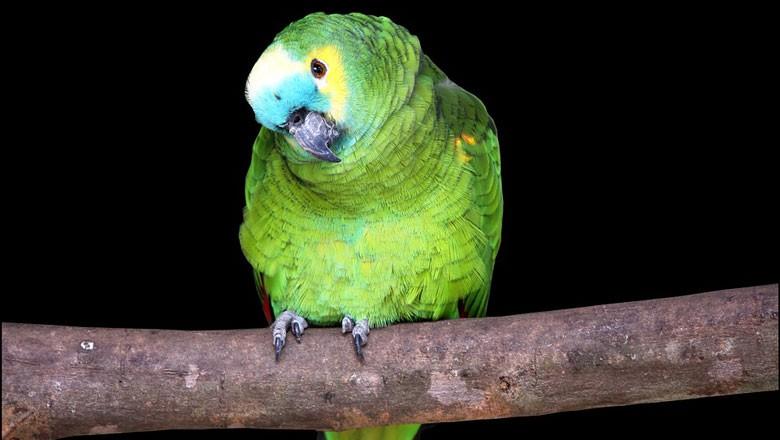 papagaio (Foto: Pixabay/Creative Commons)