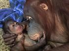 Zoo nos EUA comemora nascimento de orangotango de espécie ameaçada