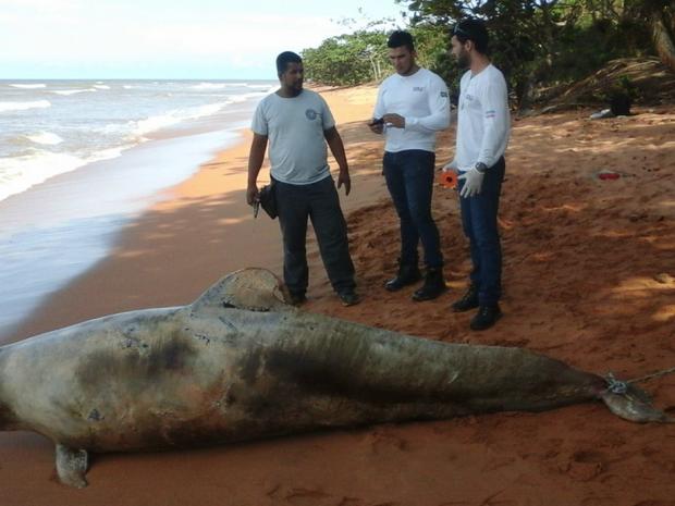 Golfinho tinha 3,3 metros e pesava cerca de 300kg (Foto: Ibraff)