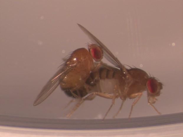 Cópula entre duas moscas (Foto: Divulgação)