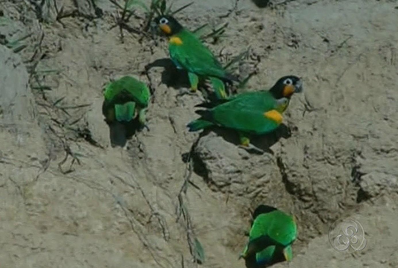 Aves se alimentam de argila na beira do Rio Madeira (Foto: Bom dia Amazônia)