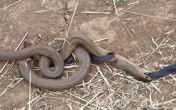 Cobra negra parece abrir buraco após ser devorada por cobra-marrom  (Foto: Reprodução/Facebook)