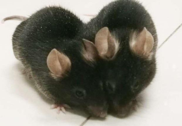 Dois ratos foram cirurgicamente reunidos no experimento sobre Alzheimer feito pela Universidade da Colúmbia Britânica (Foto: University of British Columbia)