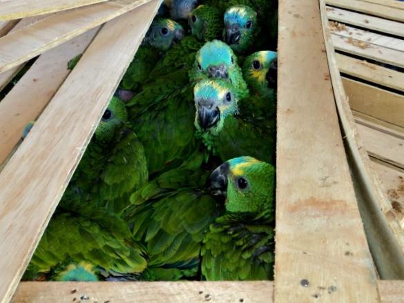 Filhotes de papagaios estavam em caixas de madeira, em MS (Foto: PMA/ Divulgação)