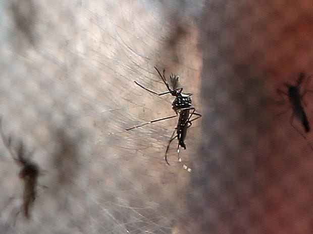 Mosquitos Aedes aegypti, transmissor da dengue. doença, vetor, inseto, transmissores, contágio. -HN- (Foto: Fabio Motta/Estadão Conteúdo)