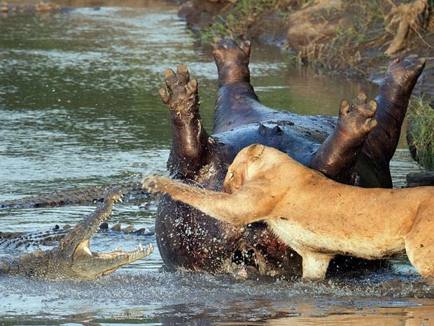 Detalhe da imagem que mostra o embate entre a leoa e os crocodilos (Foto: Richard Chew/Caters News/The Grosby Group)
