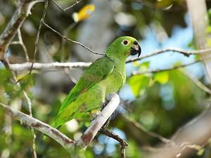 papagaio-campeiro (Amazona ochrocephala) (Foto: Rudimar Narciso Cipriani)