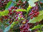 Safra do café deve ser ainda menor que a esperada no sul de MG