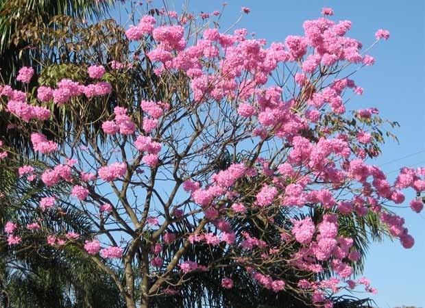 flores; primavera; ipê (Foto: Idomar Fernandos Schibelsky/VC no G1)