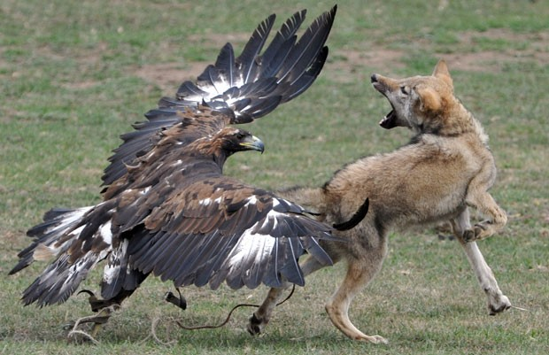 Em outra competição, treinadores lançam suas águias para atacar lobos (Foto: Vyacheslav Oseledko/AFP)