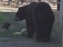 Gato selvagem e urso viram 'melhores amigos' em zoo nos EUA