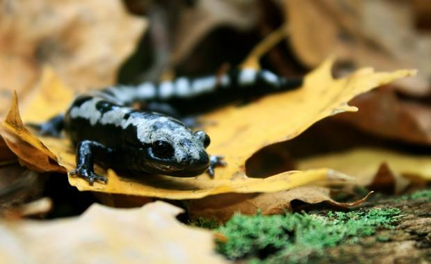 Salamandra da espécie Ambystoma opacum: a espécie está aumentando sua distribuição em resposta a temperaturas de inverno mais amenas  (Foto: Mark Urban/Divulgação)