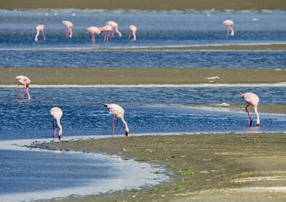 Flamingos-pequenos, cuja característica principal é o bico negro, alimentam-se nas águas calmas da Baía Walvis, na Ponta do Pelicano  (Foto: © Haroldo Castro/ÉPOCA)