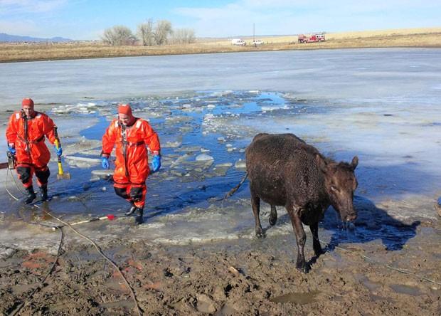 Apesar do susto, as vacas não ficaram feridas (Foto: Darin Anstine/Fountain Fire Department/AP)