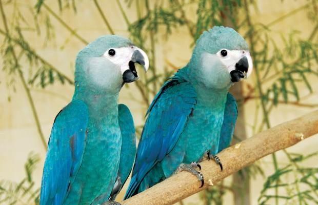 Intenção dos pesquisadores é reproduzir ave em cativeiro (Foto: Divulgação/Al Wabra Wildlife Preservation)