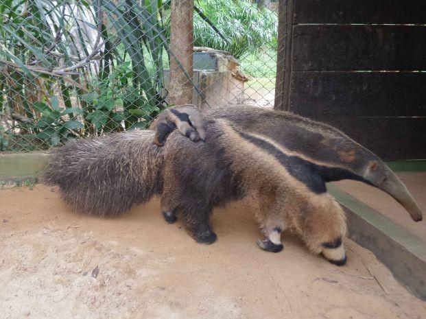 Este é o segundo filhote  nascido no zoológico (Foto: Zoológico/Divulgação)