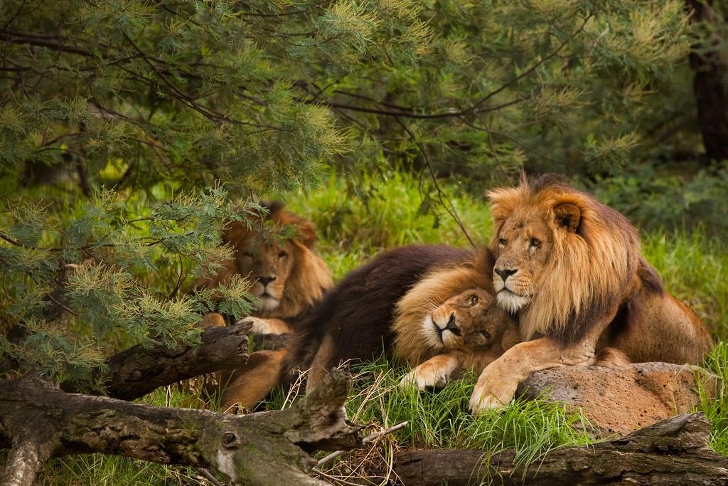 Leões machos são vistos 'acasalando' em parque