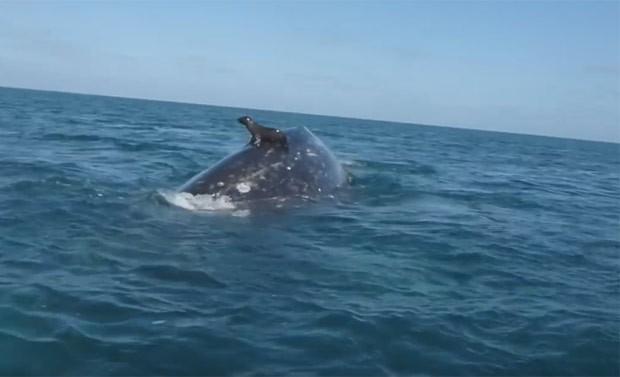 Foca pegou 'carona' nas costas de baleia e surpreendeu turistas no México (Foto: Reprodução/YouTube/WhaleOfATime)